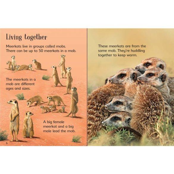 Beginners - Meerkats